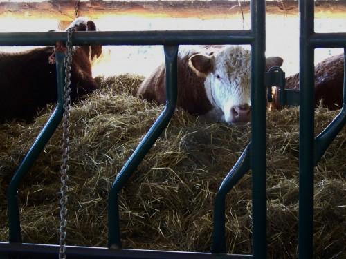 cattle strew formulation permission