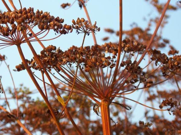 Turga parsnip - 2012