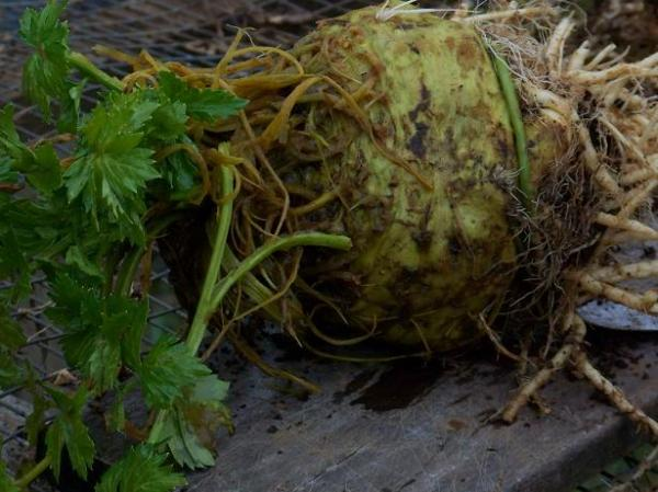 Brilliant celeriac headed for beef stew