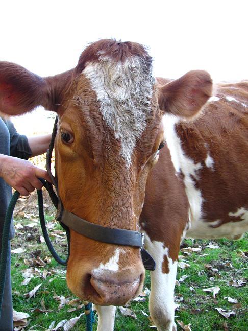 Warpaint - cow style