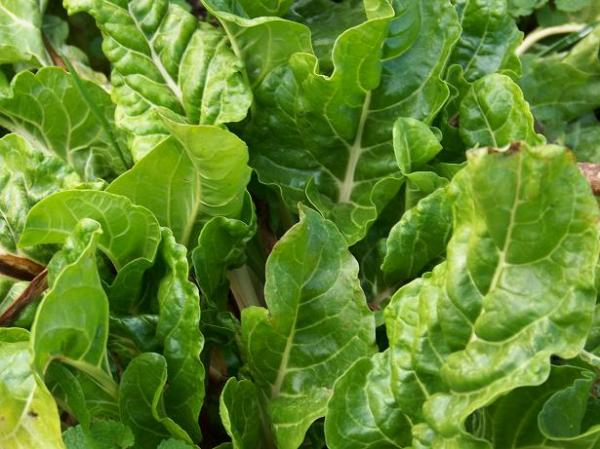 Fordhook Giant chard