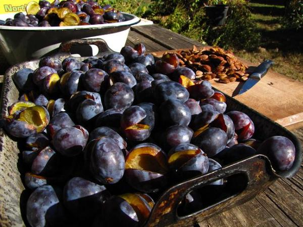 Italian Prunes