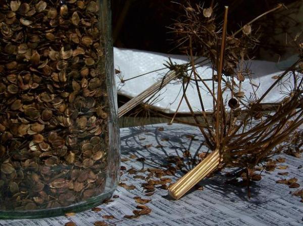 Turga parsnip seed