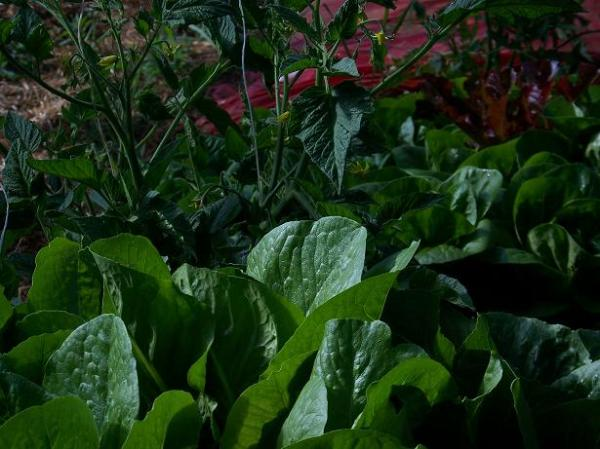 Interplanted lettuce with tomatoes