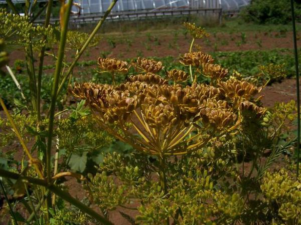 Parsnip seed