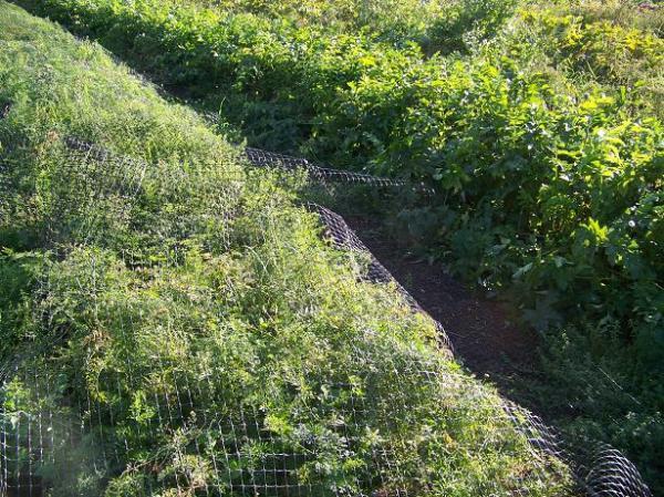 Deer netting over carrots