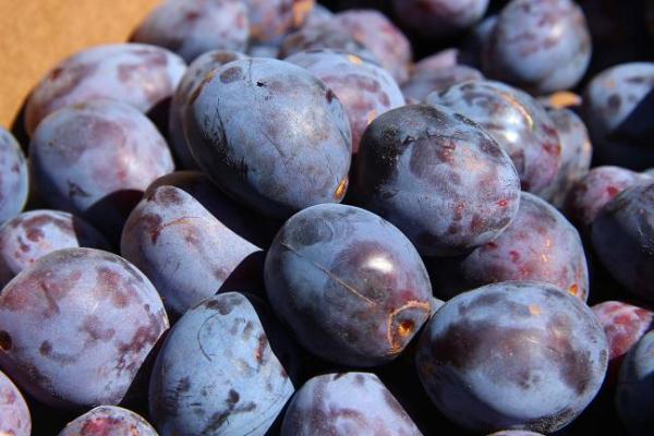 Italian Prune