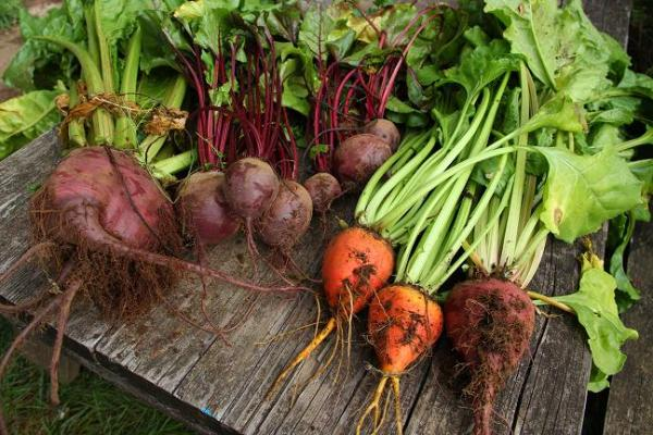 Summer into winter beet harvest