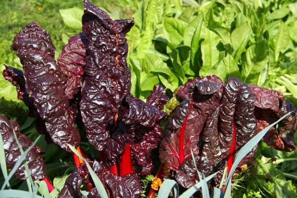 Chard and chicory