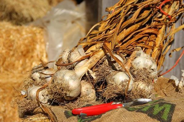 garlic seed bundle