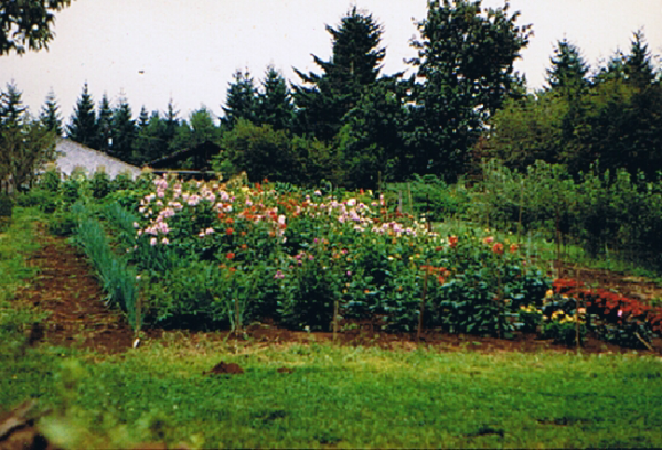 too many dahlias - main garden 1982