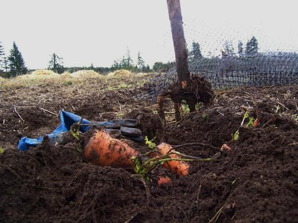 weekly root dig