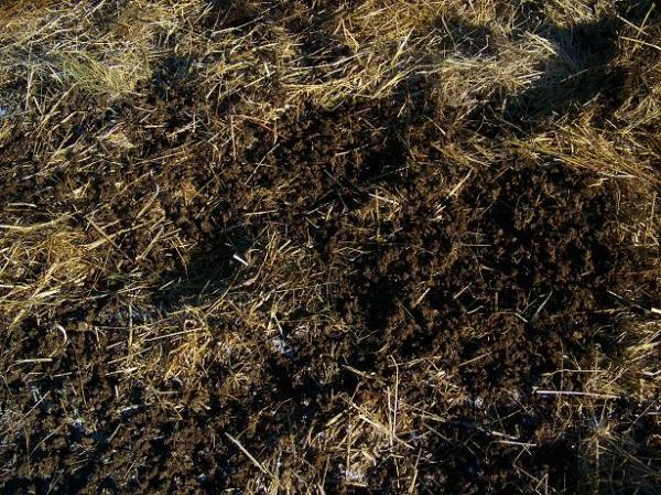 crow scattered cow pie - garden sheet mulch