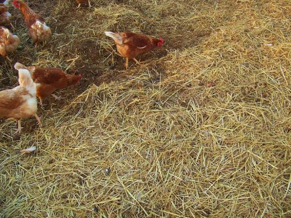 hens on deep bedding - greenhouse