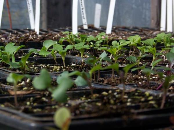 First seedlings