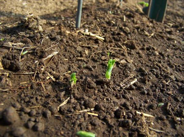 Spring Treat snap peas