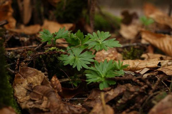 Staggerweed - poison larkspur - Delphinium trolliifolium