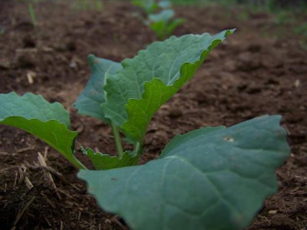 MelissaF1 savoy cabbage
