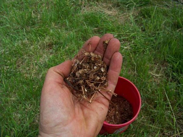 Homegrown parsnip seeds in hand - the cycle is complete