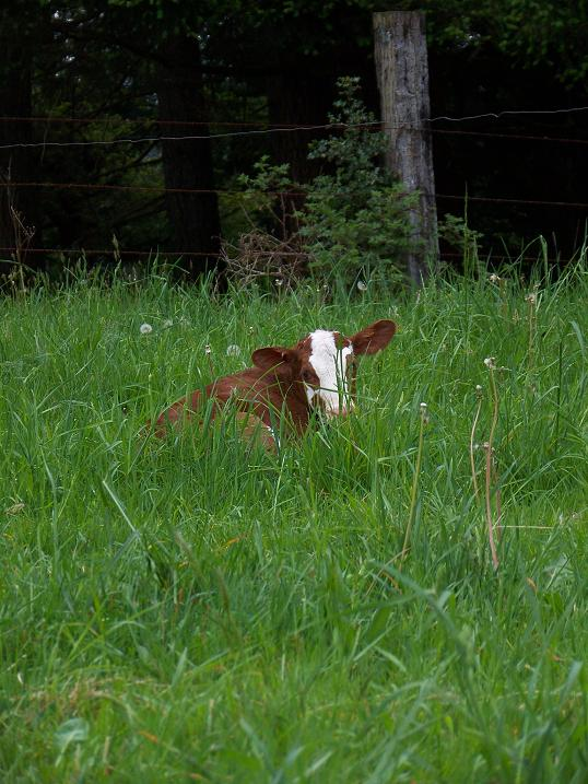 heifer born May 16, 2014