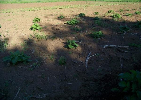 weedy potatoes