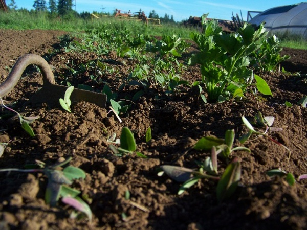 Celeriac with easy weeds