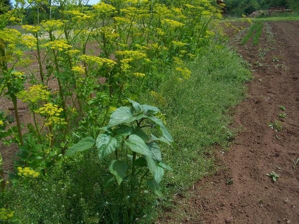 Parsnip seed row