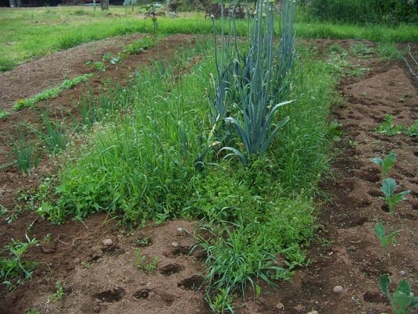 Leek seed row