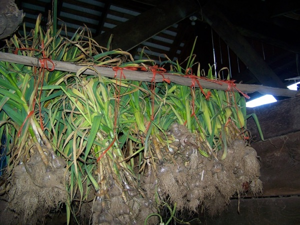 garlic curing in the barn