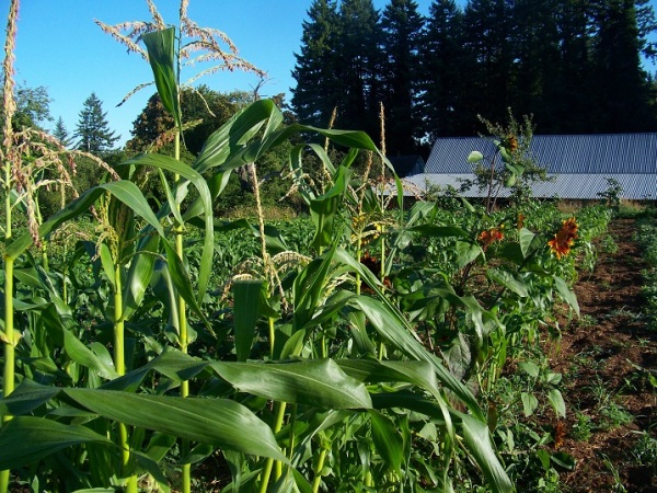 Cascade Ruby-gold corn