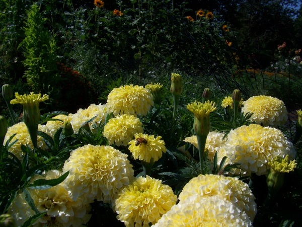 Vanilla marigold, formerly know as Sweet Cream.
