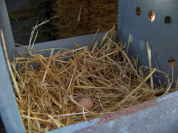 Pullet egg