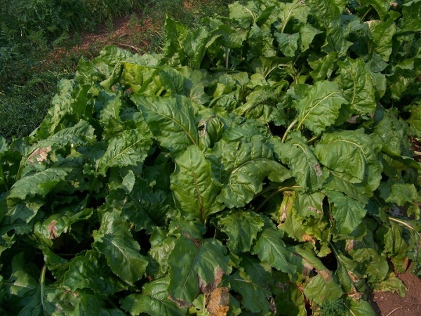 Lutz or Winterkeeper beets
