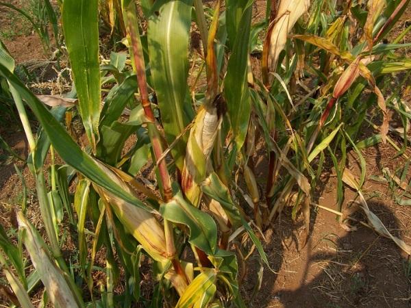 Cascade Ruby-Gold flint corn