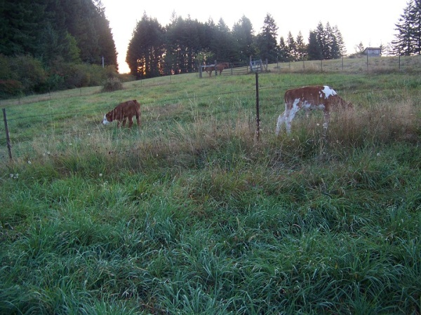 """The """"boys"""" grazing after morning milk."""
