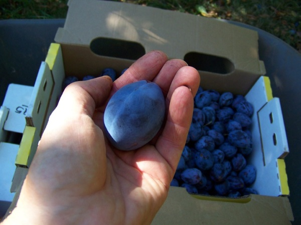 Italian prune plum