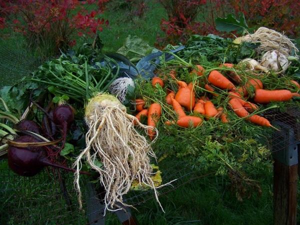 Winterkeeper beet, Brilliant celeriac, Bandit leek, Red Cored Chantenay carrot, Gilfeather turnip(rutabaga), Joan rutabaga.
