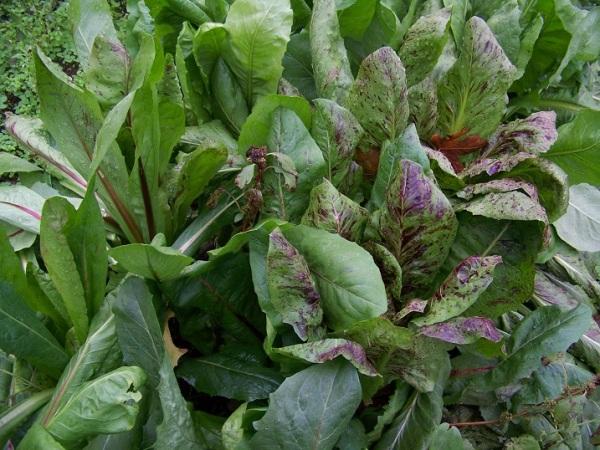 Wild Garden Chicory
