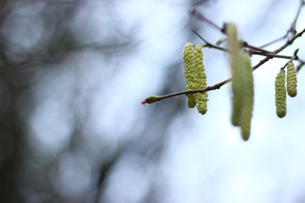 Corylus in bloom