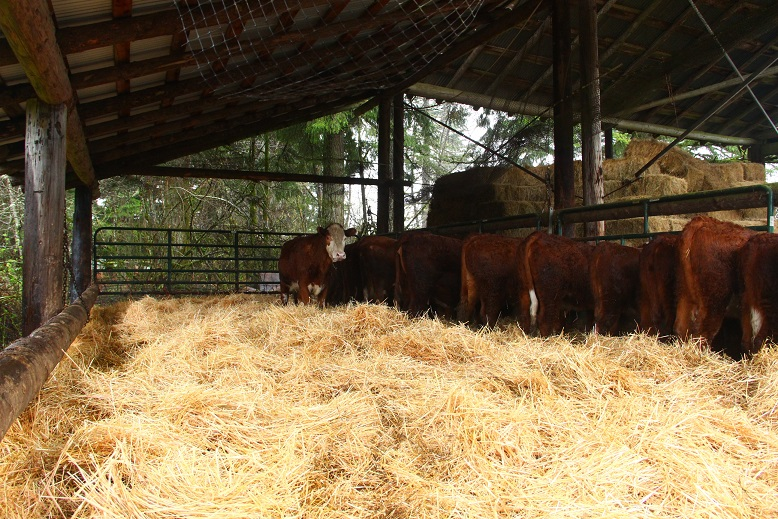 Best Bedding For Beef Cattle