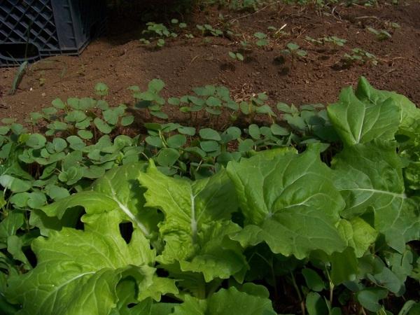 Tokyo Bekana and buckwheat