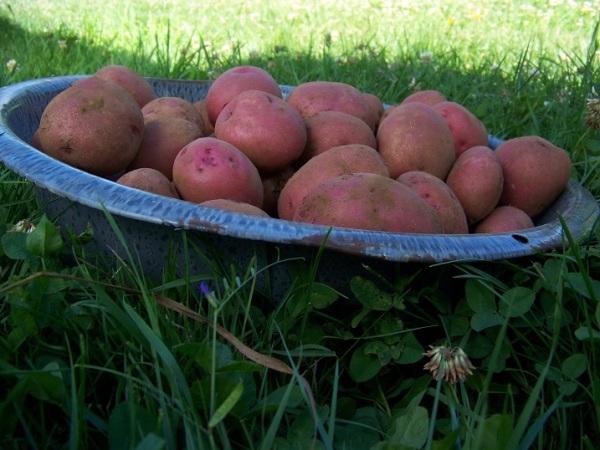Dark Red Norland, greenhouse final harvest July 19, 2014