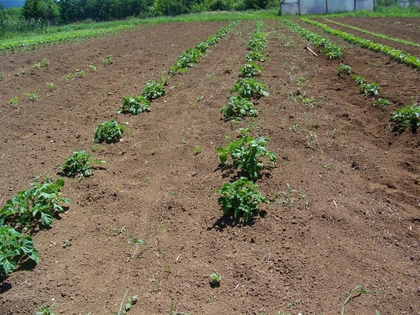 Dryland potatoes