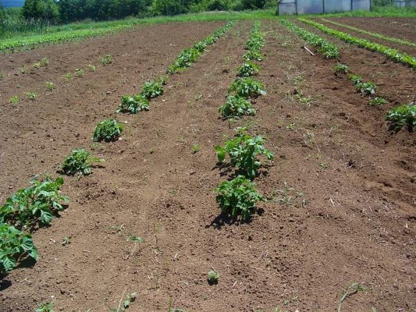 Dryland potatoes