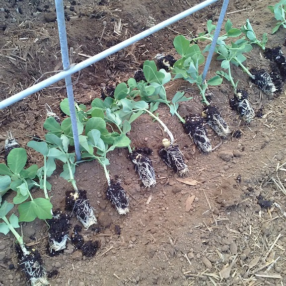 pea plugs in the furrow last summer