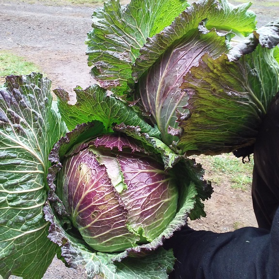 January King OP cabbage